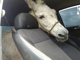 'Sorriu para mim', diz suposto dono de burro furtado e levado em carro no Ceará