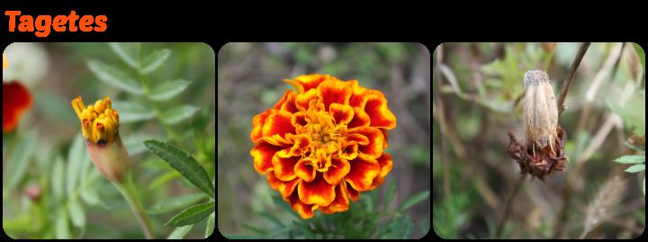 Knospe, Blüte und Samnstand der Tagetes