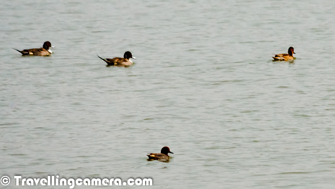Wild Wings of Pong Dam : A Series on Migratory Birds we