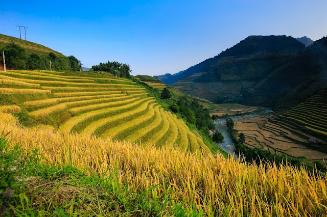 Harvest time of terraced fields in Hoang Su Phi is coming!