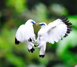 jalak bali terbang