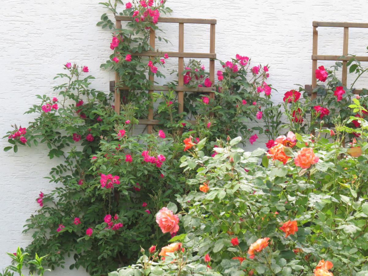 neuer gartentraum die rosenbl te beginnt. Black Bedroom Furniture Sets. Home Design Ideas