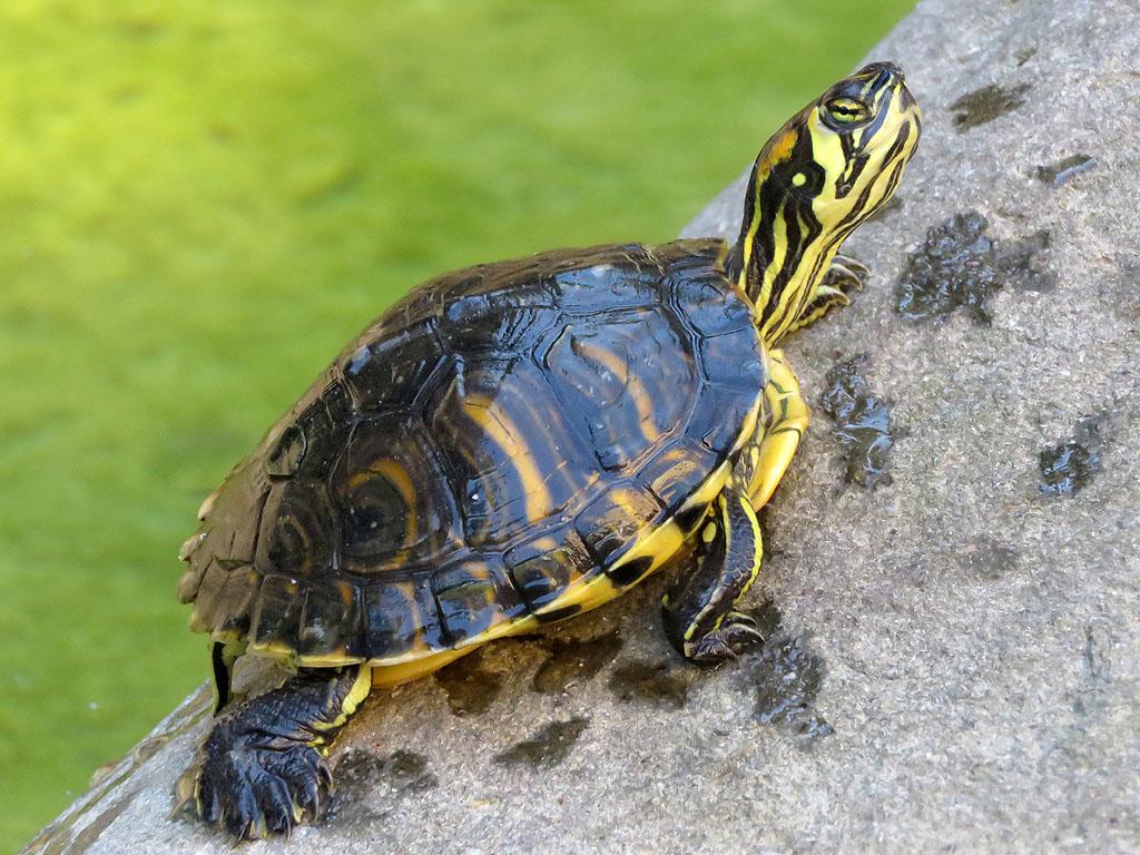 Livorno una foto al giorno un 39 altra tartaruga - Pagine di colorazione tartaruga ...