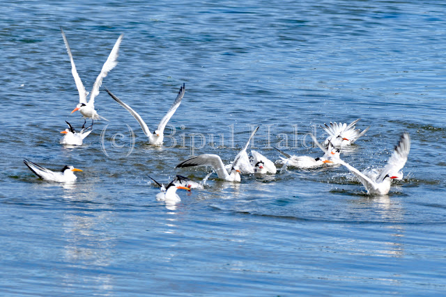 A Flock Of Tern