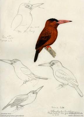 Jacamará del Purús Galbalcyrhynchus purusianus