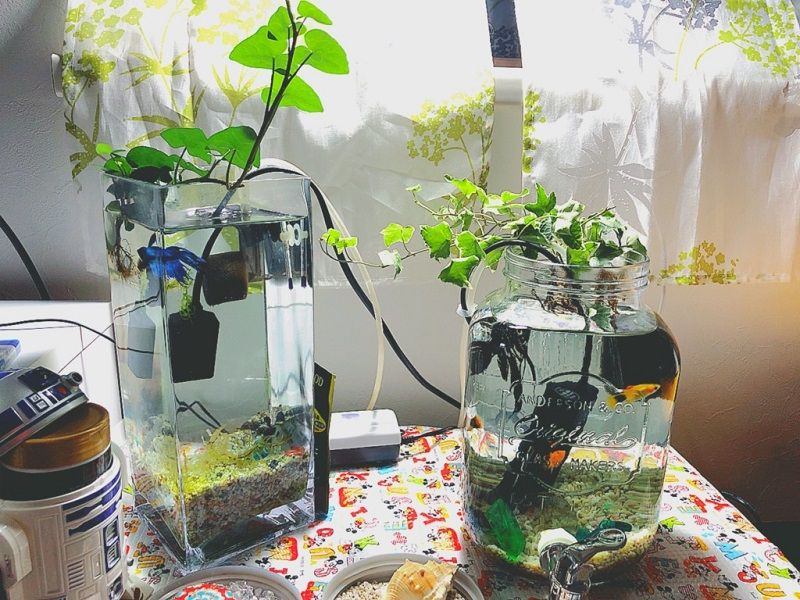 Image What Live Plants Are Safe for Betta Fish 1