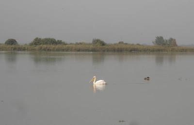 плывущий пеликан