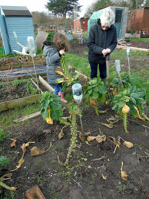 digging up brussel sprouts in december on our allotment