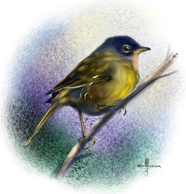 MacGillivray's warbler bird painting by Artmagenta