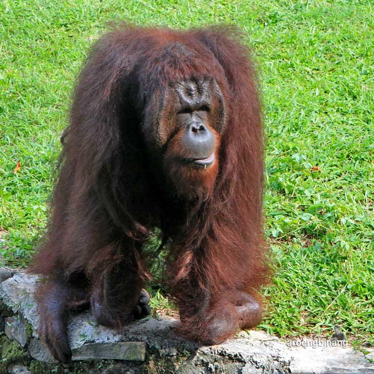 orangutan kebun binatang ragunan jakarta