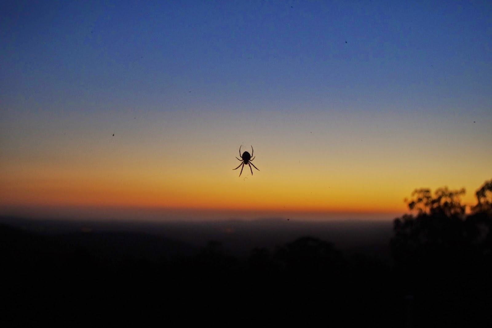 Golden orb spider against the setting sun