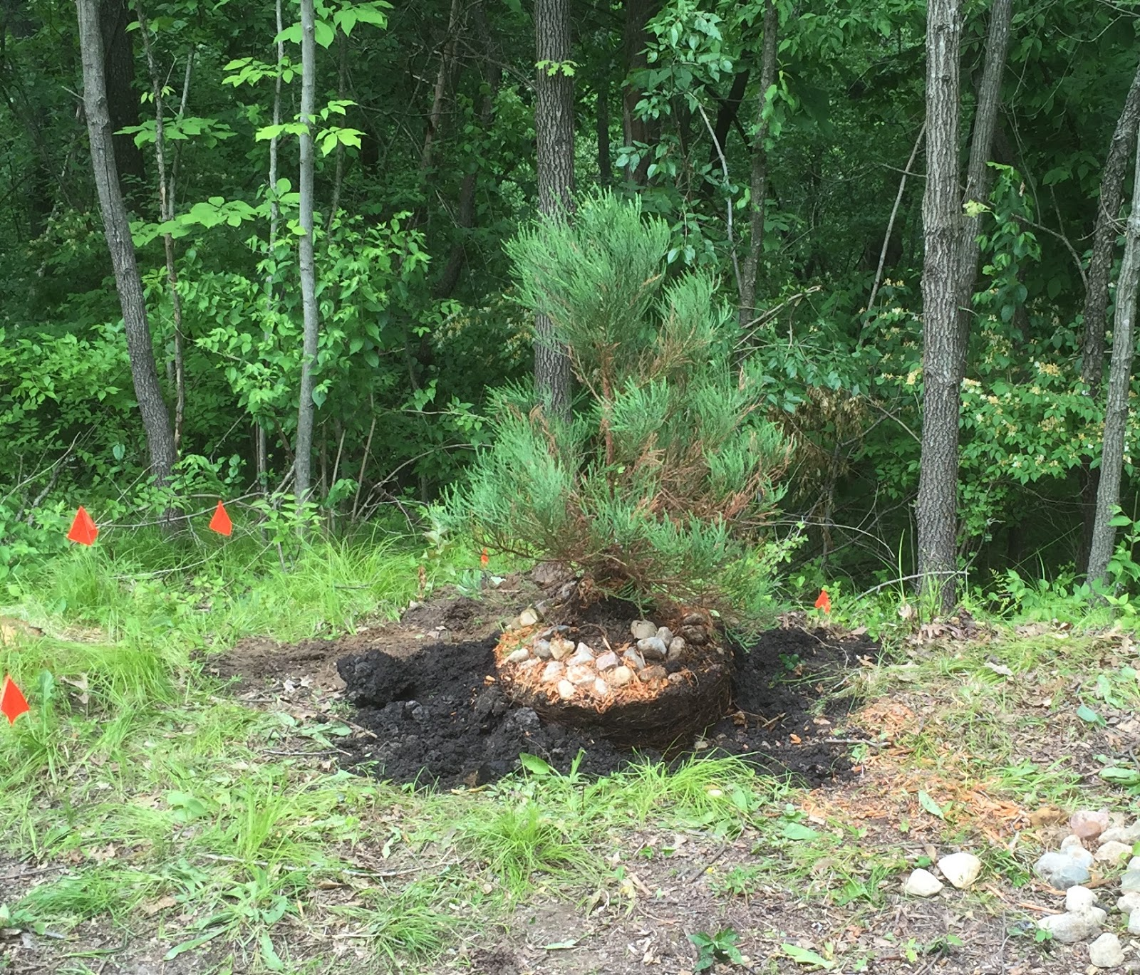 planting a sequoia About craig coussins' relations with the giant sequoia: the giant sequoia   the tree was also planted into a longer shallow pot as these are shallow rooted.
