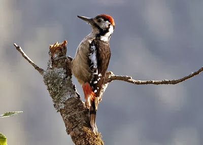 Himalayan Woodpecker
