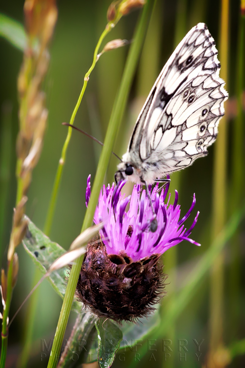 Ornate butterfly in macro image of a delicate purple flower at Barnack Hills & Holes