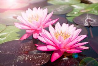 Adaptasi Morfologi pada Tumbuhan yang Hidup di Air