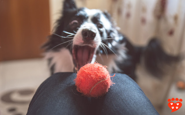 A dog wants to take the ball from her owner's lap