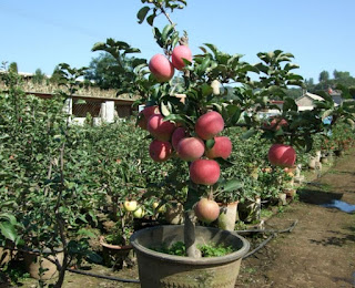 cara menanam apel di pekarangan rumah,cara menanam apel dari bijinya,cara menanam apel merah dari biji,cara menanam pohon apel dari biji,cara menanam buah apel dari biji,