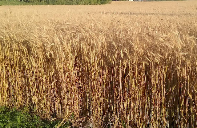 metamora herald wheat