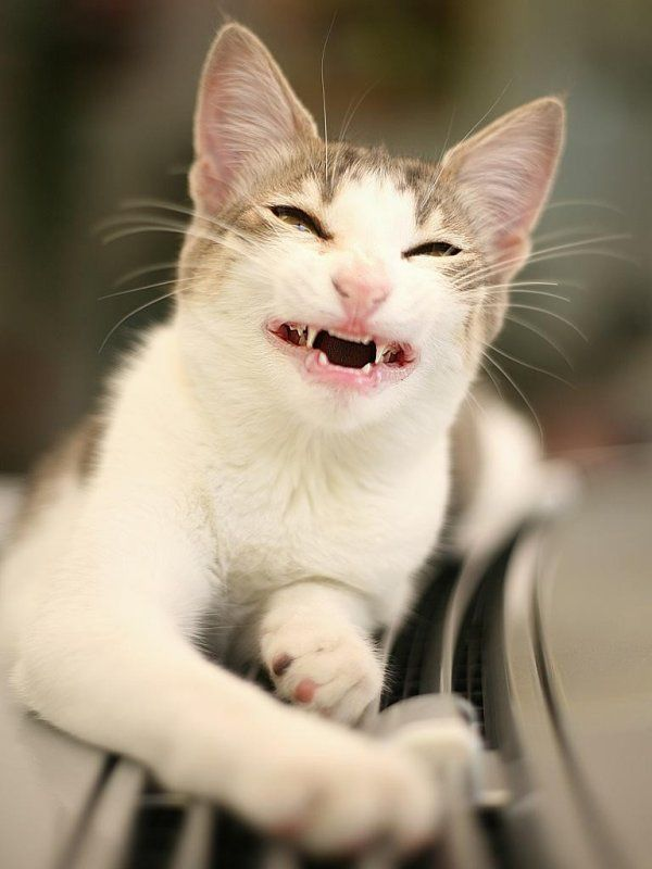 Understanding Cat Body Language: 10 Sign Guides for You   Funny Smiling Cat