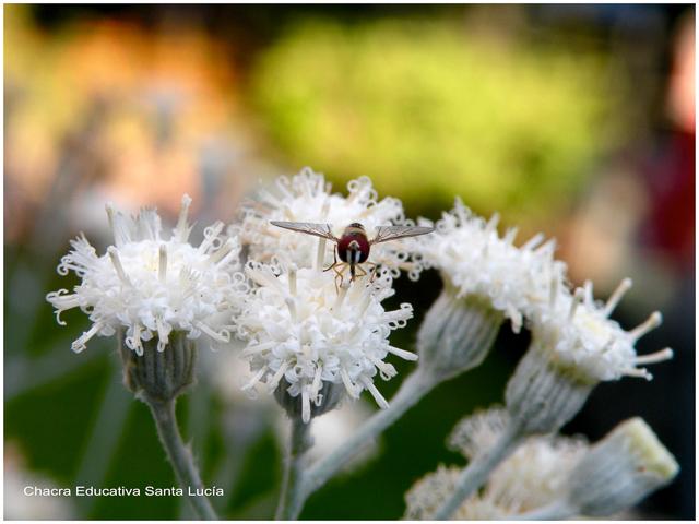 Algunos insectos ayudan a polinizar las plantas - Chacra Educativa Santa Lucía