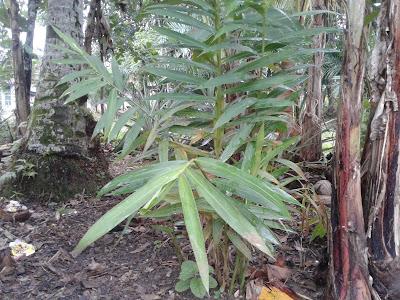 gambar tumbuhan temulawak