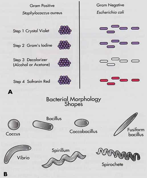 Bacterial morphology task 11 lab 2 Coursework Sample - August 2019