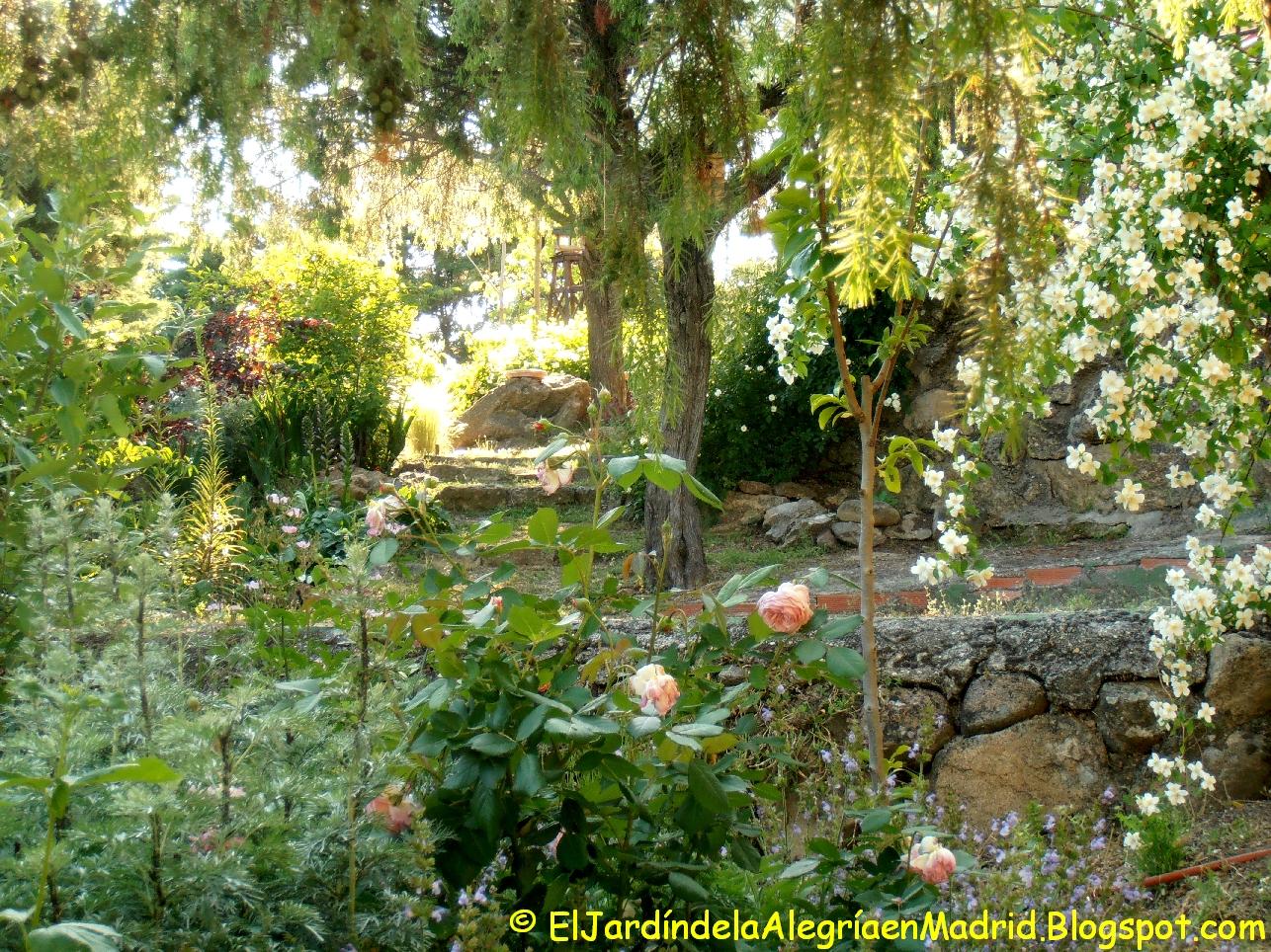 El Jardin De La Alegria Philadelphus Celindo De Arbusto