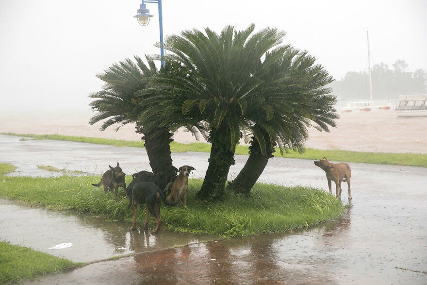 30 Shocking Pictures That Show How Catastrophic Hurricane Irma Is - Dogs Take Refuge From The Rain As Hurricane Irma Makes Its Entry Into Samana, Dominican Republic, On Thursday