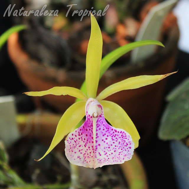 Flor de un morfo de la orquídea x Brassocattleya `Binosa´