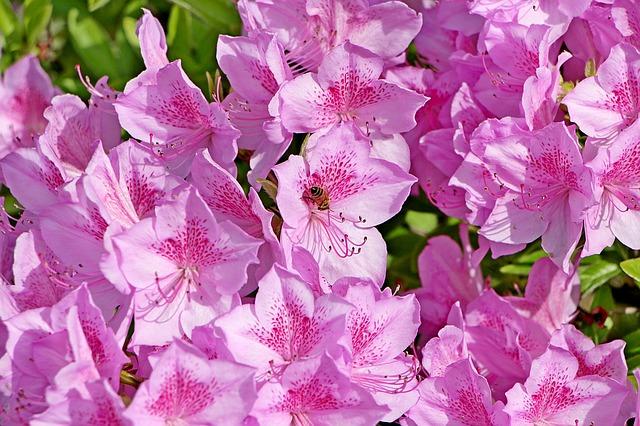 hoa đỗ quyên đẹp 1