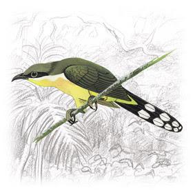 Papa-Lagarta (Coccyzus melacoryphus)