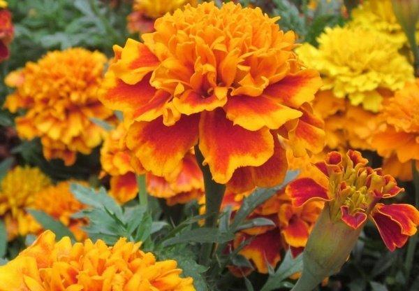Tanaman Marigold
