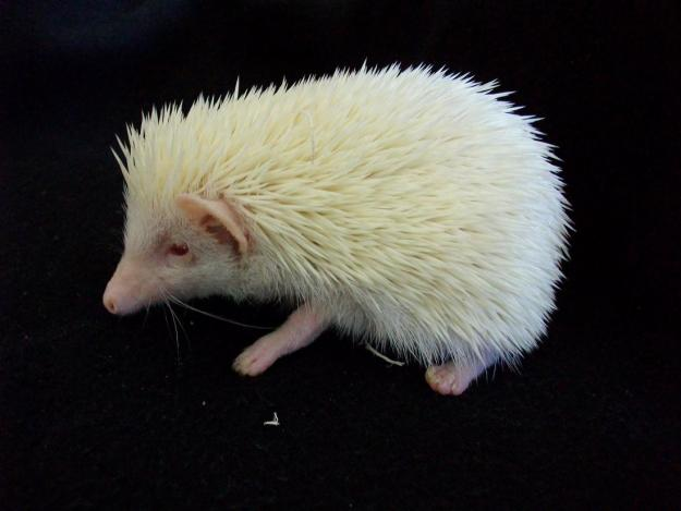 Cute White Dogs Wallpapers Animals Wallpapers Albino Small Hedgehog Images Photos