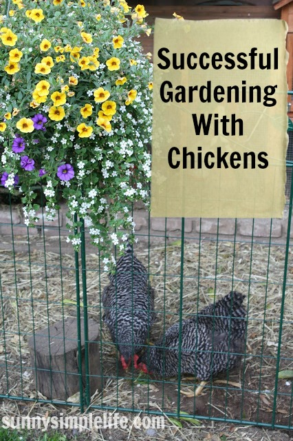 backyard chickens, chicken fencing