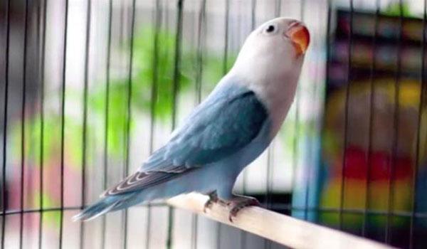 harga lovebird pastel