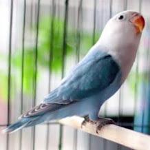 Harga Burung Lovebird Putih Pastel Terbaru 2018