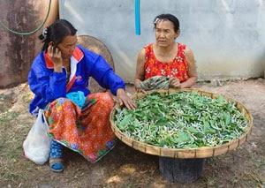 Panmai Group members raising silkworms organically