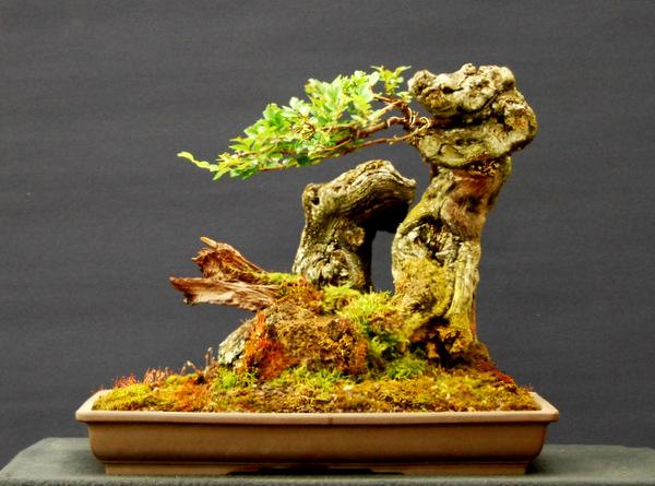 jupp s bonsai blog der drache hat eine spielwiese. Black Bedroom Furniture Sets. Home Design Ideas