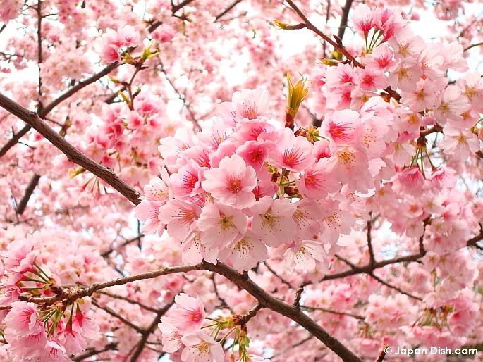 Curiosidades del mundo Sakura o flor de cerezo
