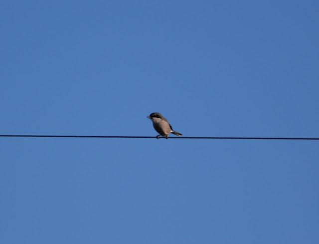 Iberian Grey Shrike - Portugal