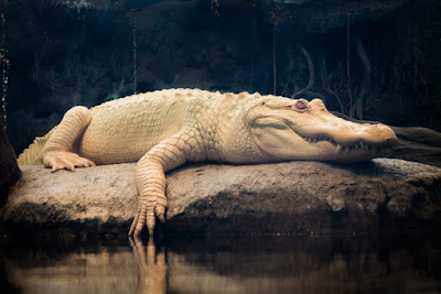 interesting facts about Alligator