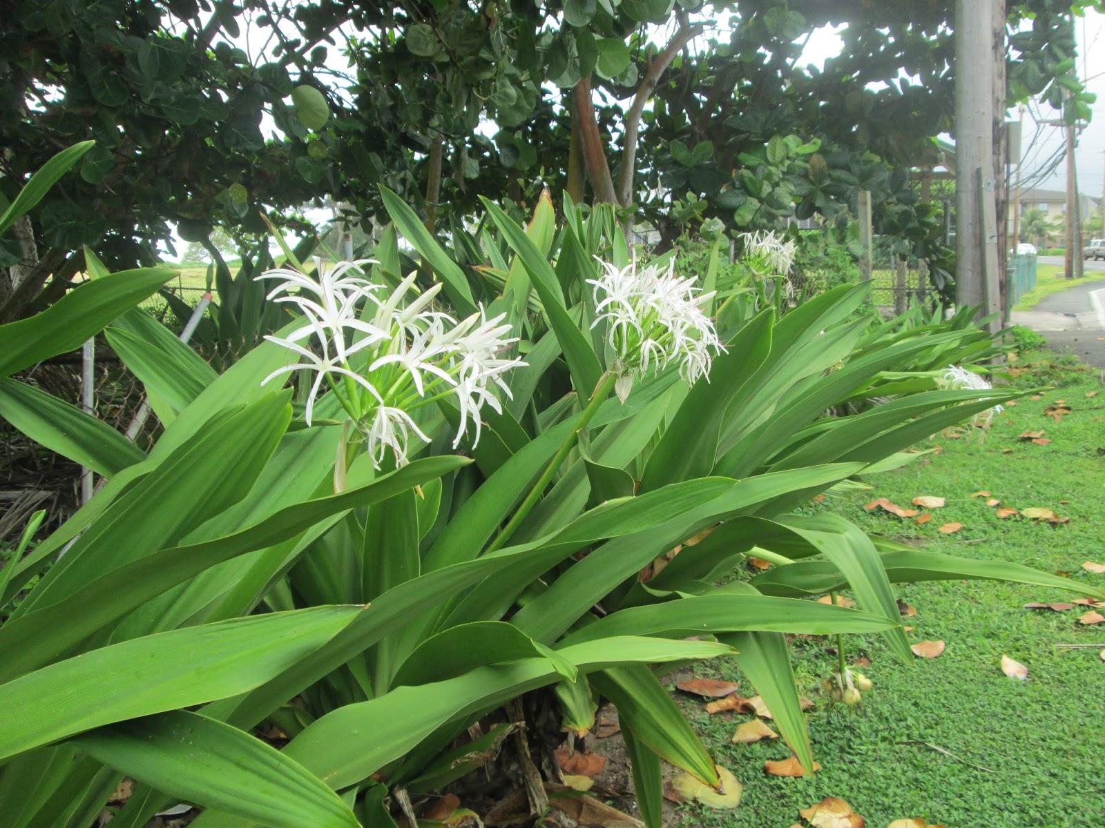 Garden Notes From Hawaii Hawaii Spider Lily Crinum Asiaticum
