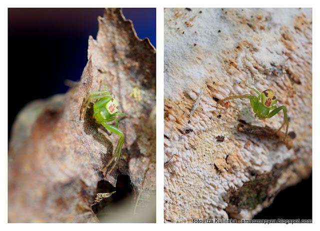 pajak, samica, samiczka, ebrechtella tricupsidata, malenstwo, fauna, stworek