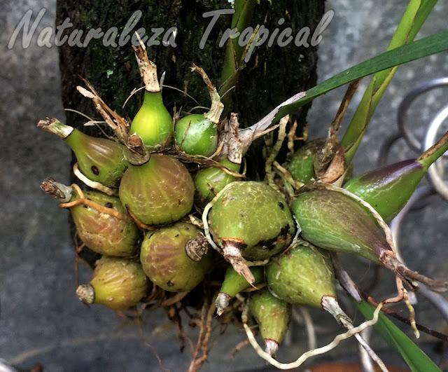 Pseudobulbos de la orquídea Encyclia oxypetala