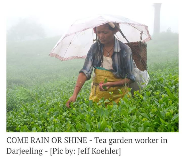MINIMUM WAGES –Tea Garden Workers and Vultures