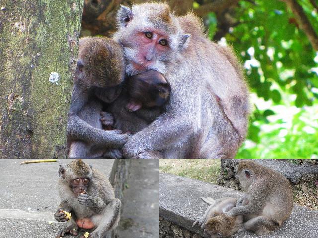 monyet di uluwatu