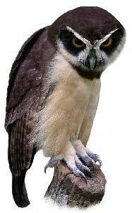 Murucututu (Pulsatrix perspicillata)