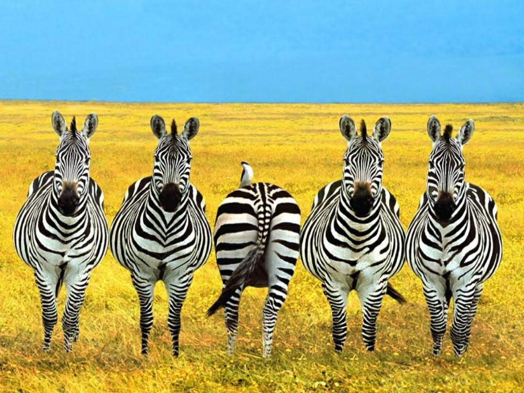 Kids Zone Zebras