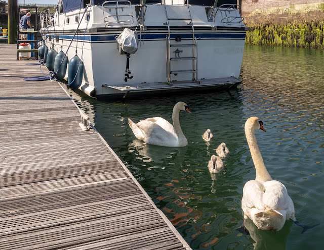 Photo of the swans bring their cygnets to Ravensdale in search of food