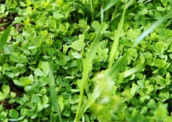 kebaikkan daun alfalfa